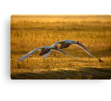 Low flying swaans Canvas Print