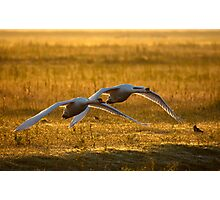 Low flying swaans Photographic Print