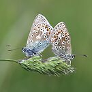Pair of Common Blues by Neil Ludford