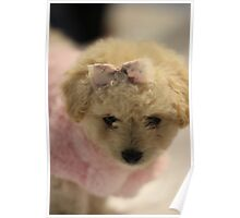 Toy Poodle Puppy - Just Too Cute Poster