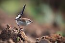 The Superb Fairywren (Malurus cyaneus) by Donovan wilson