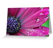 Purple Osteospermum Macro Greeting Card