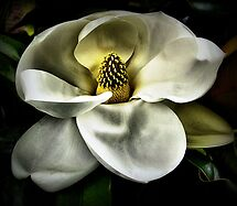 Painted Magnolia by SuddenJim