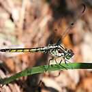 Dragonfly Up Close by Laurel Talabere