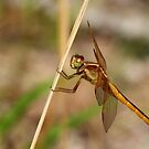 Dragonfly: Here's Looking at You by Laurel Talabere