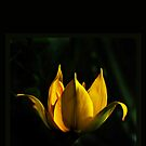 Yellow Daylily by Kathleen Stephens