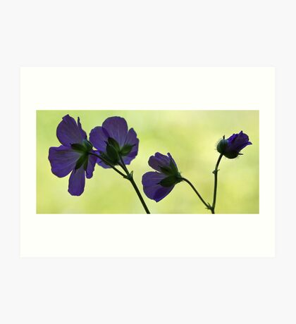 Wild Geranium - Morning Light Art Print