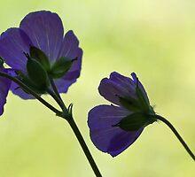 Wild Geranium - Morning Light by T.J. Martin