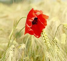 Poppy 2012 by Falko Follert