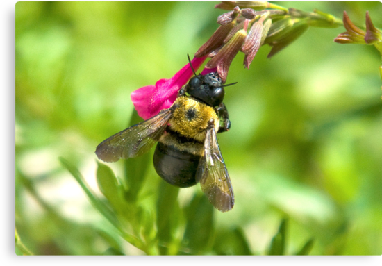Bee on a Flower by imagetj