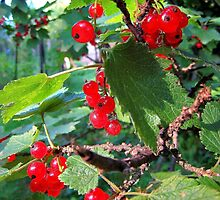 Red currants in the solar bath by Redrose10