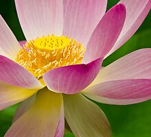 Lotus in the Japanese Garden by Lightengr