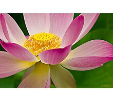 Lotus in the Japanese Garden Photographic Print