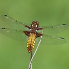 Broad bodied chaser by Gill Langridge