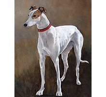Greyhound white with brindle Photographic Print