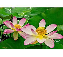 Two Lotus Blossoms Photographic Print