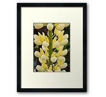 Lovely Lemon Lupin Framed Print