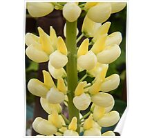 Lovely Lemon Lupin Poster