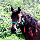 Gypsy horse by Goran Zec