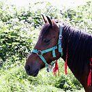 Gypsy horse 3 by Goran Zec