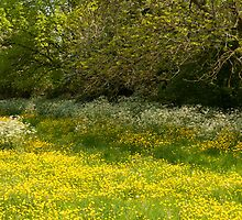 Buttercup meadow by David Isaacson