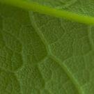 Veined Leaf by Matt Sillence