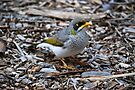 Yellow-throated miner bird by Ian Berry