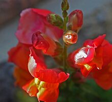 Red SnapDragon  by Sherry Cummings