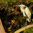 Great Blue Heron Posing by Lightengr