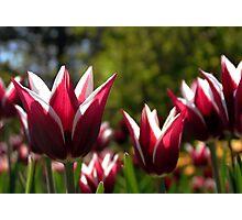 Tulips 7 Photographic Print