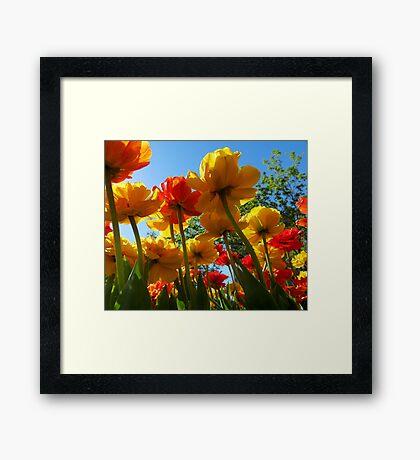 Tulips 8 Framed Print