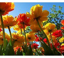 Tulips 8 Photographic Print