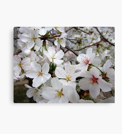 Cherry Blossoms 1 Canvas Print