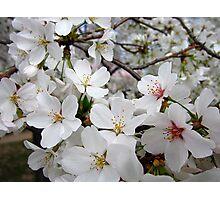 Cherry Blossoms 1 Photographic Print