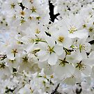 Cherry Blossoms 3 by photonista