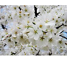 Cherry Blossoms 3 Photographic Print