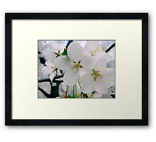Cherry Blossoms 4 Framed Print