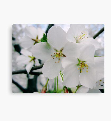 Cherry Blossoms 4 Canvas Print
