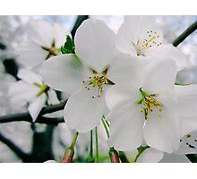 Cherry Blossoms 4 Photographic Print