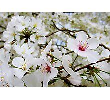 Cherry Blossoms 5 Photographic Print