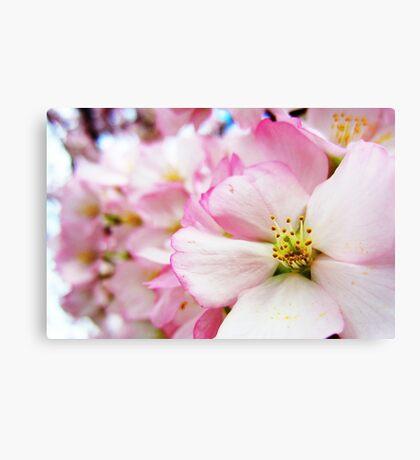 Cherry Blossoms 7 Canvas Print