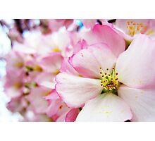 Cherry Blossoms 7 Photographic Print