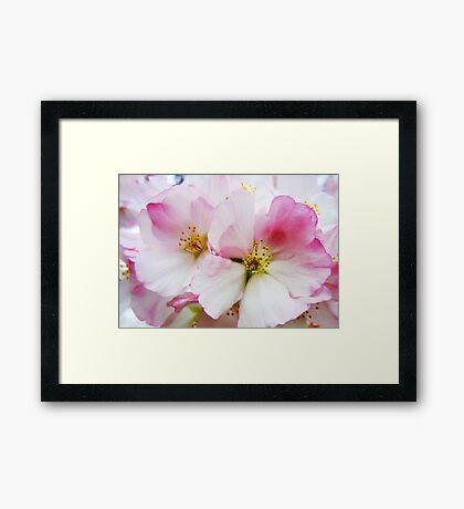 Cherry Blossoms 8 Framed Print