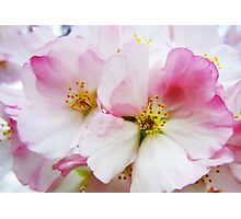 Cherry Blossoms 8 Photographic Print