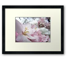 Cherry Blossoms 9 Framed Print