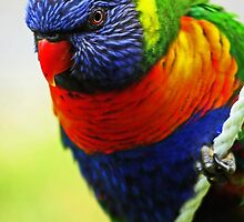 Rainbow Lorikeet by Evita