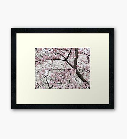 Cherry Blossoms 10 Framed Print