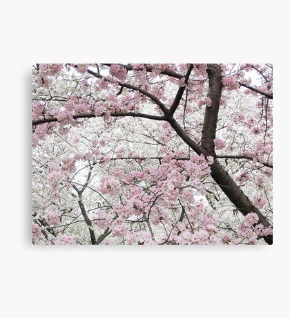 Cherry Blossoms 10 Canvas Print