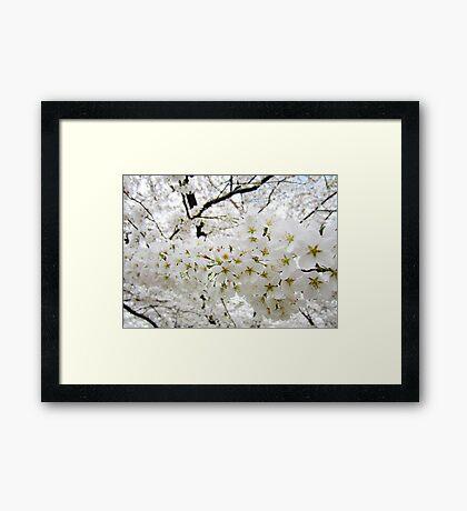 Cherry Blossoms 12 Framed Print
