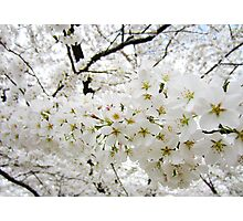 Cherry Blossoms 12 Photographic Print